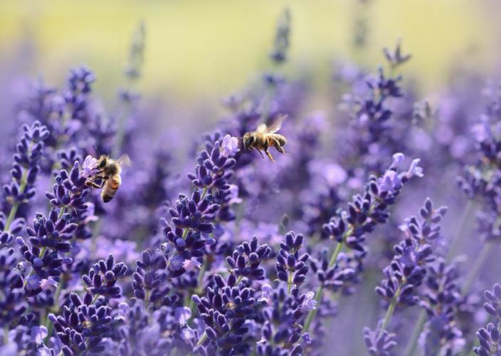 Protection des pollinisateurs